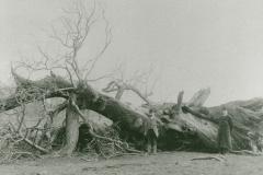 002338 Fallen Monmouth Tree c1900