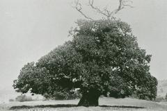 002693 Monmouth Tree c1890